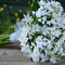 Bouquet de Tritelia.