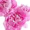 Peonias, las flores de moda para las bodas en 2013