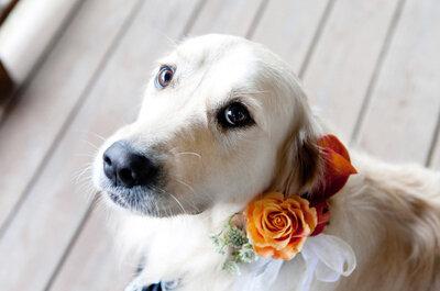 Collares para los perros en las bodas