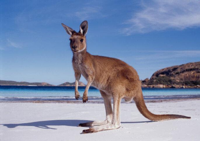 El canguro: tan australiano como el koala forman parte de su rica fauna.