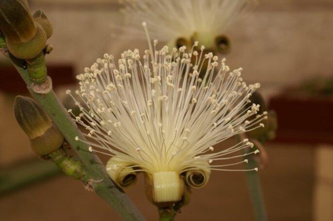 Decora tu boda con Clavellinas en color blanco - Foto: Vivero Forestal Encanto