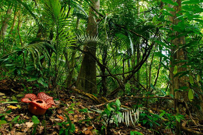 Rafflesia en el Belum Rainforest, Malasia