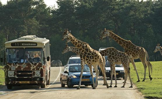 Verkeer kan nog wel eens vastlopen Safaripark Beekse Bergen