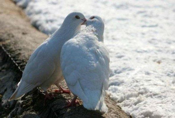 Beispiel: Hochzeitstauben, Foto: Vogelschule Christian Krey.