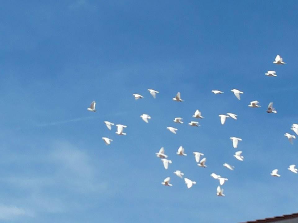 Beispiel: Flug der Hochzeitstauben, Foto: Stefans Hochzeitstauben.