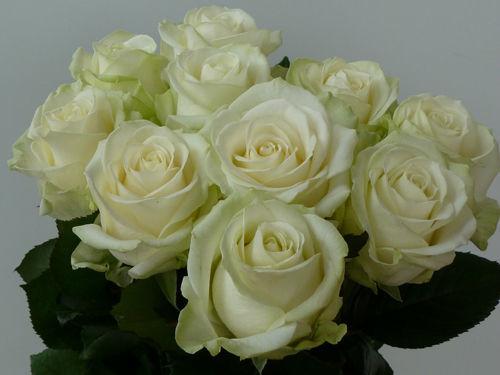 Die weiße Avalanche Rose - die beliebteste weiße Rose unserer Brautpaare