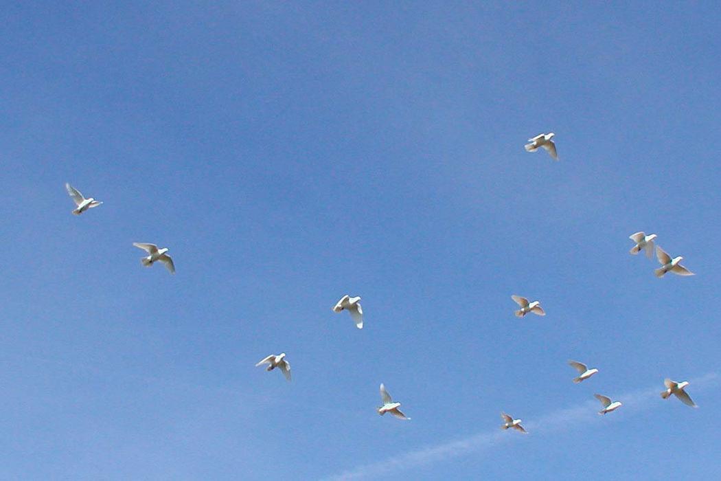 Beispiel: Weiße Tauben in der Luft, Foto: Hochzeitstauben Fleckner.