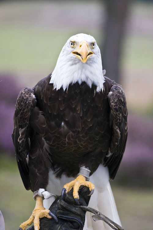 Bald eagle Safaripark Beekse Bergen