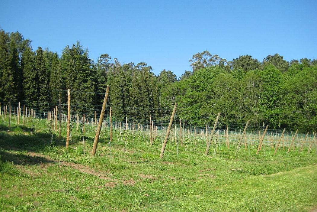 Nuevas plantaciones de uva albariña
