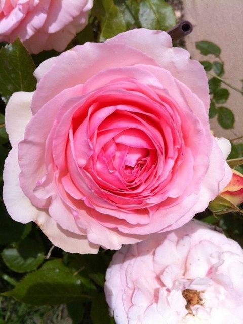 Cascina Alessi - rose antiche in giardino