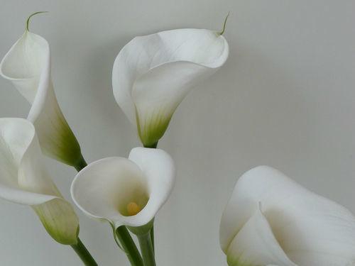 Calla - edel und stilvoll für die Dekoration Ihrer Hochzeit - als Tischdekoration oder Kirchenschmuck