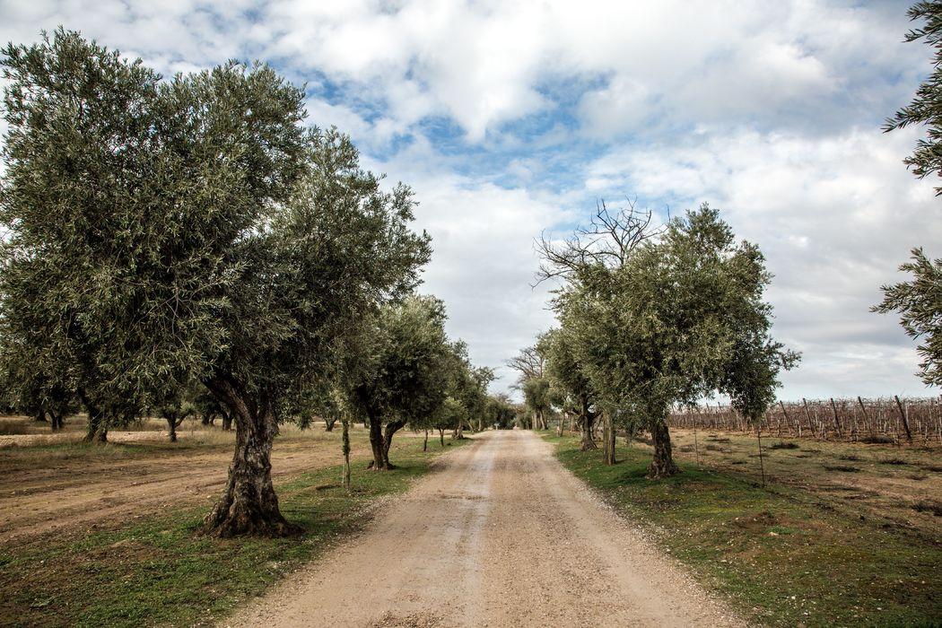 Olivares de entrada El Regajal