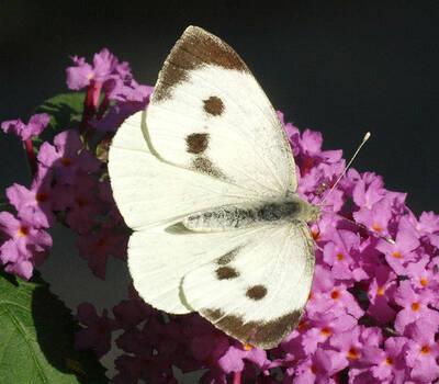 Beispiel: Der Schmetterling in seiner ganzen Schönheit, Foto: Schmetterlingszauber.