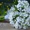 Bouquet di triteleia bianchi