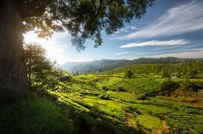 Photo : Sri Lanka Hauts Plateaux Plantations Thé ©iStock_mihtiander