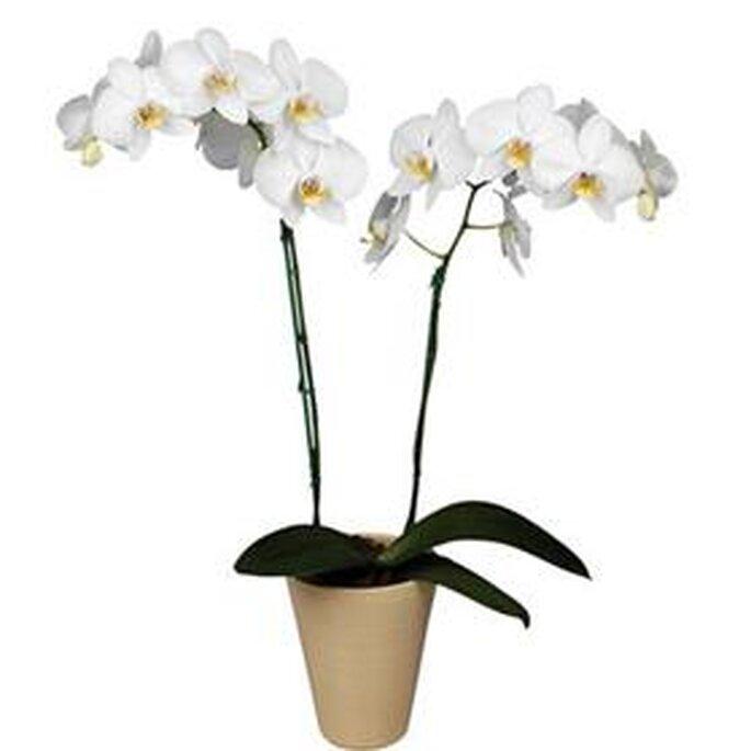Orquídea en maceta para decorar bodas