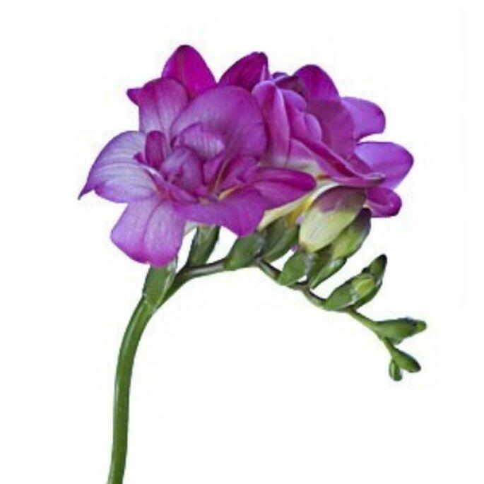 Fleur de freesia violette - Réalisation Fleurs-a-l-unite.com
