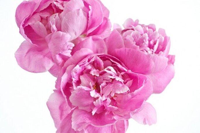 Peonias, las flores de moda para las bodas en 2013 - Foto geishaboy500 en Flickr