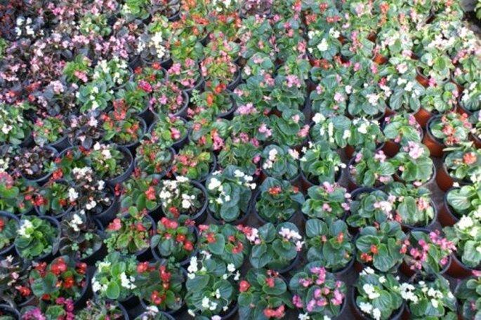 Macetas con Begonias de varios colores - Foto: Vivero Forestal Encanto