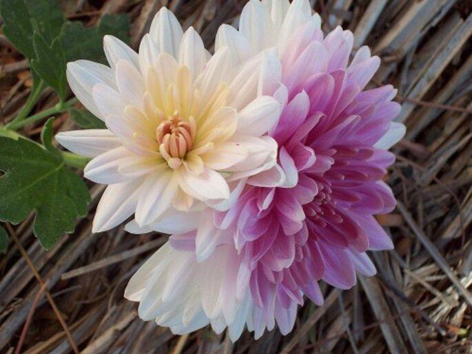 Les chrysanthèmes symbolisent l'amour - Photo: Arteyfotografía.com