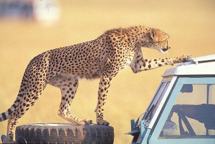 Un Cheetah es improvisado polizón en un safari diurno.