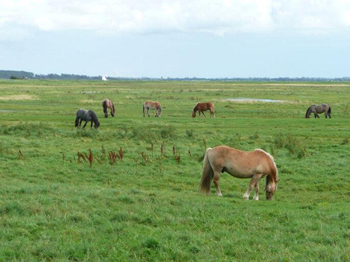 Pferdekoppel auf Hiddensee