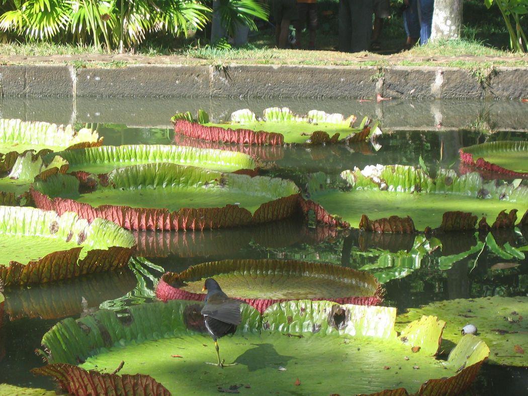 Jardin de pamplemousses - Ile Maurice