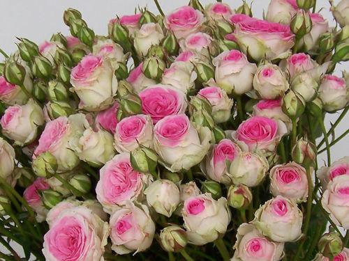 Spray Rosen - hier die Mimi Eden - zart und liebevoll - die Rose für die zärtliche Hochzeits - Deko
