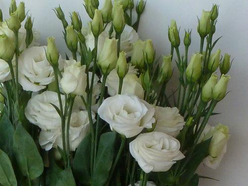 Eustoma - in vielen Farben die richtige Abrundung für jede Blumendeko