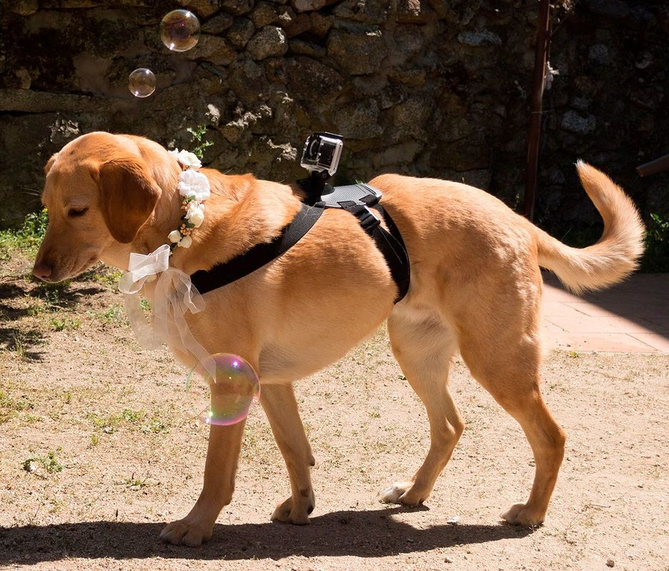 Perro grabando la boda de su humana, con el arnés GoPro y cámara | Vídeo Reportero Perruno