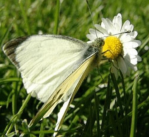 Beispiel: Großer Kohlweißling, Foto: Schmetterlingszauber.