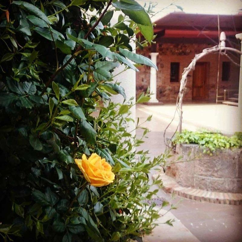 Rosa amarilla en el pozo