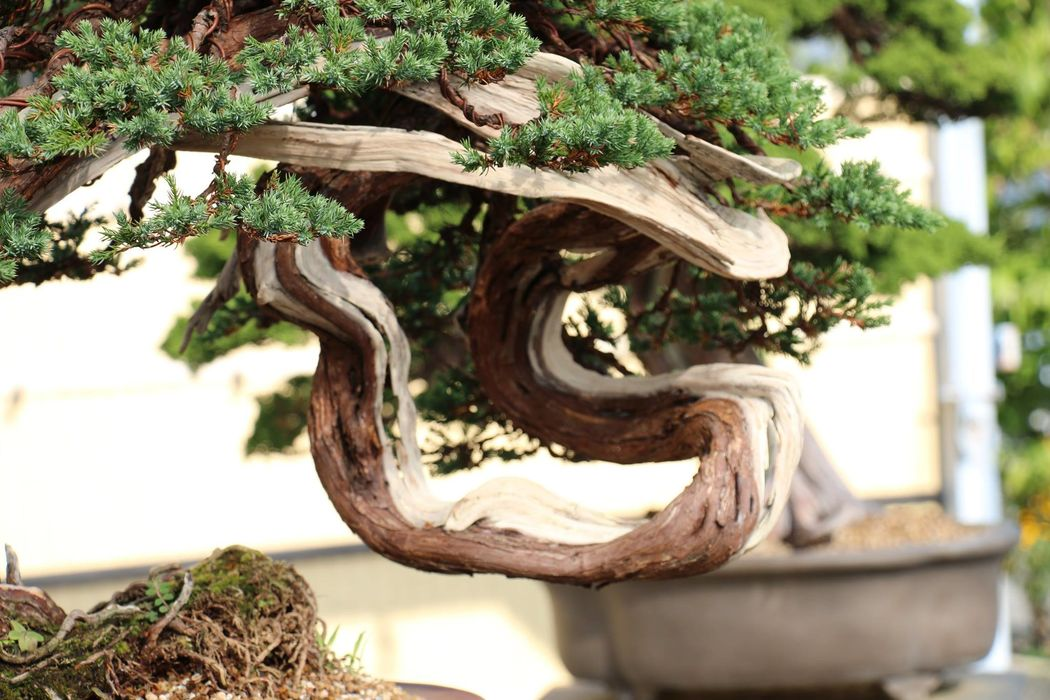 Kensho Bonsai Studio