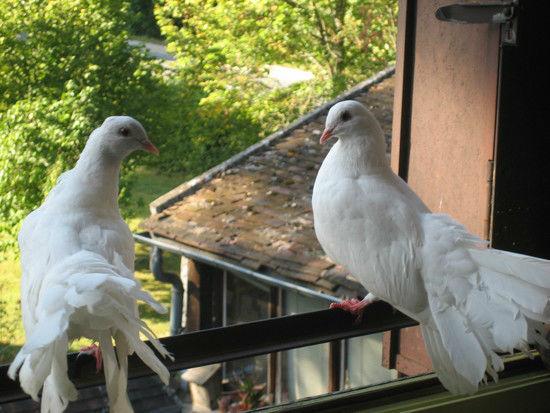 couple de pigeons paon en liberté dans le parc