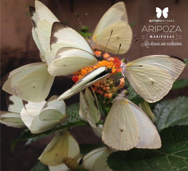 ARIPOZA Mariposas
