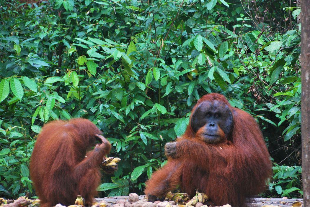 Orangutanes comiendo